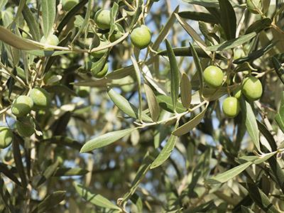 Irrigazione Oliveto
