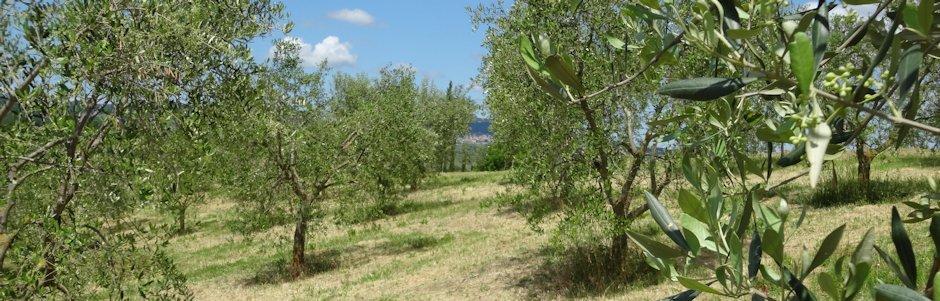 Applicazioni toro ag irrigazione oliveto drip in pc for Irrigazione vigneto